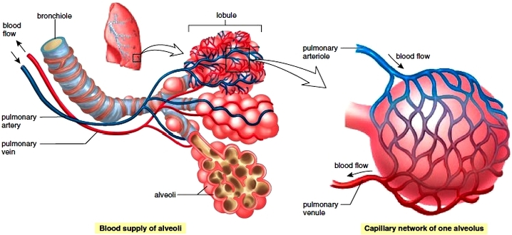 Gas exchange animals structure and function gas exchange picture diffusion occurs in the alveoli to get rid of the oxygen inside them and gain co2 from the surrounding capillaries ccuart Gallery